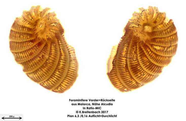 Bild 25 Foraminiferen aus Mallorca; Art: Peneroplis planatus (Fichtel & Moll, 1798)