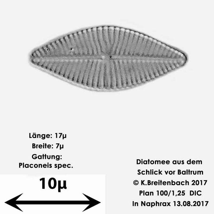 Bild 13 Diatomee aus dem Watt vor Baltrum; Gattung: Placoneis spec.