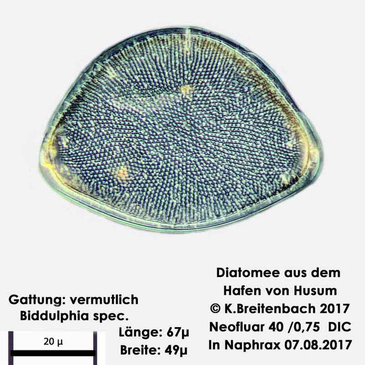 Bild 6 Diatomee aus dem Hafen von Husum Gattung: Biddulphia spec.