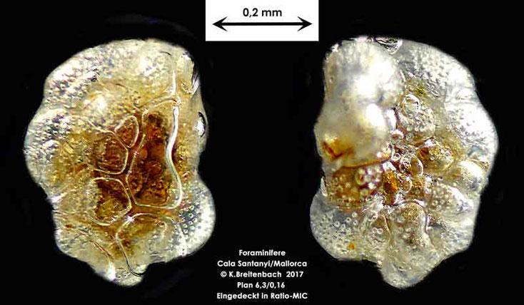 Bild 4 Foraminifere aus Mallorca Cala Santanyi, Art: Cibicidella variabilis (d'Orbigny)