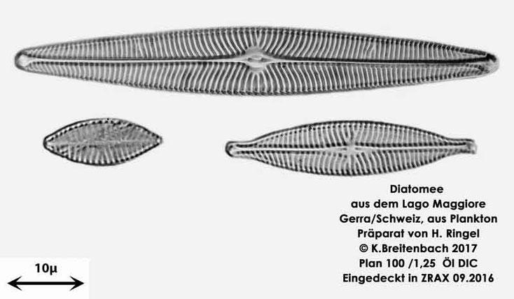 Bild 12 Diatomee aus dem Lago Maggiore/Gerra Schweiz, Art vermutlich Navicula spec.