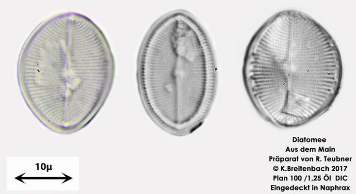 Bild 3 Diatomeen aus dem Main km 69,4 Art: vermutlich Cocconeis pediculus