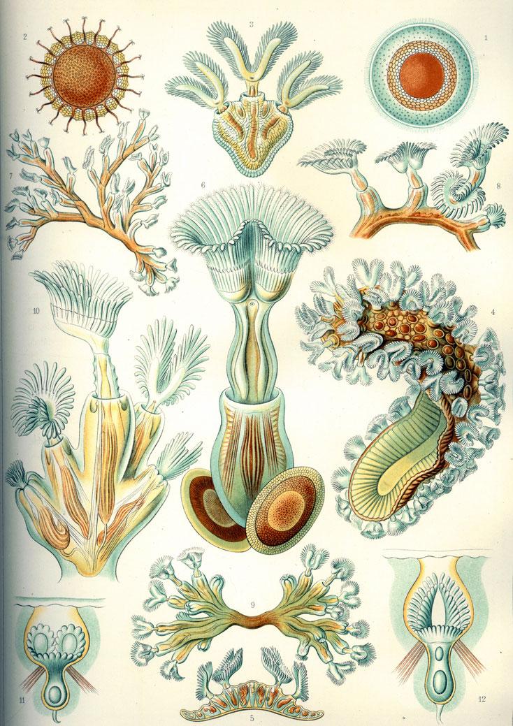 Bild 2 Quelle: Ernst Haeckel Kunstforum