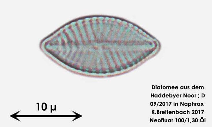 Bild 26 Diatomee aus dem Haddebyer Noor in Schleswig Holstein; Gattung: wurde von mir nicht bestimmt