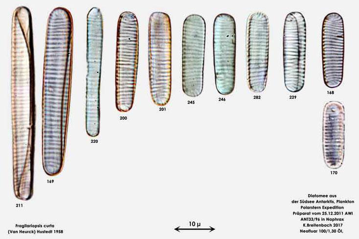 Bild 7 Diatomee aus dem anarktischen Ozean Präparat: ANT33/96; Art: Zusammenfassung, Fragilariopsis curta (Van Heurck) Hustedt 1958