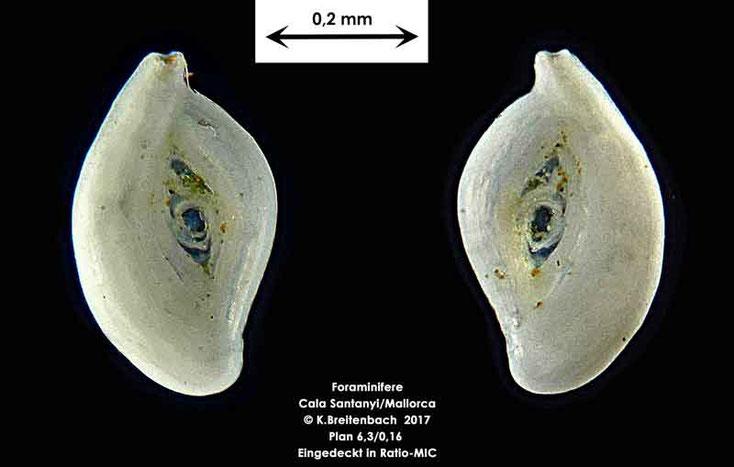 Bild 2 Foraminifere aus Mallorca Cala Santanyi Art: Adelosina sp.