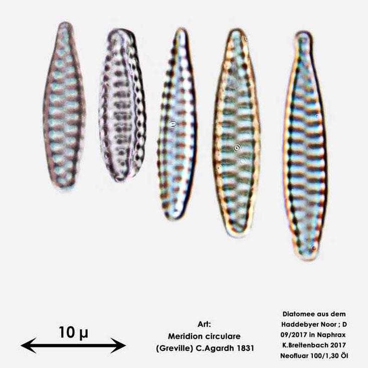 Bild 17 Diatomee aus dem Haddebyer Noor in Schleswig Holstein; Art: Meridion circulare (Greville) C. Agardh 1831