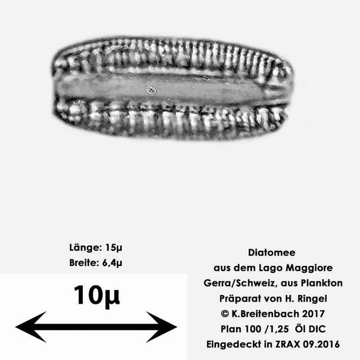 Bild 24 Diatomee aus dem Lago Maggiore/Gerra Schweiz, Art mir unbekannt