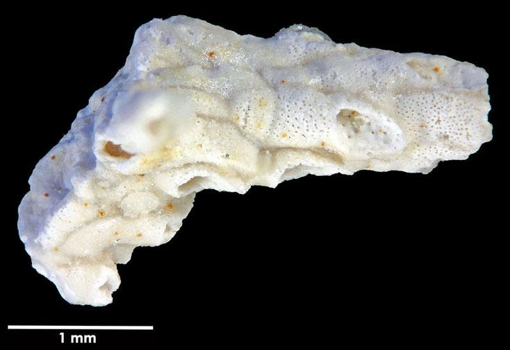 Senckenberg, Bryozoa, Bryozoen, Moostierchen,