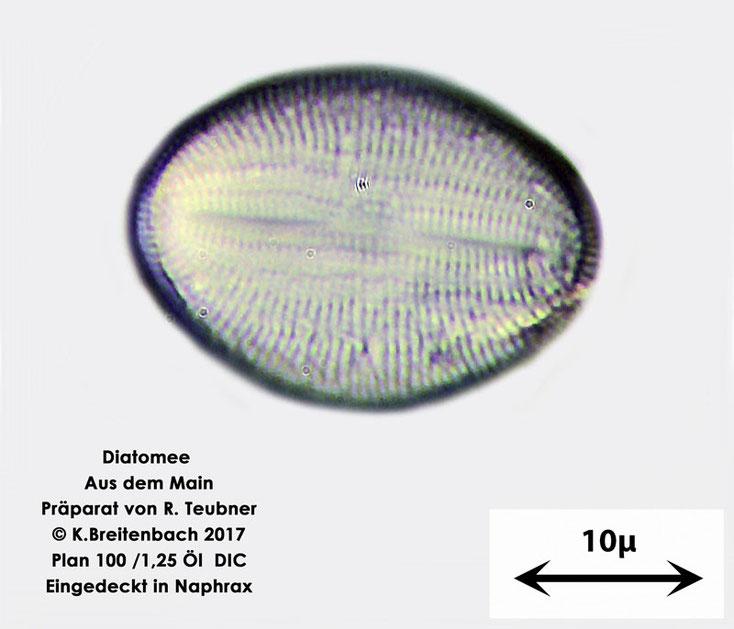 Bild 19 Diatomeen aus dem Main km 69,4 Art: unbekannt