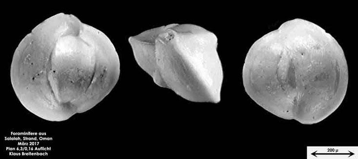 Bild 4 Foraminifere vom Strand in Salalah, Oman Gattung: Quinqueloculina sp.