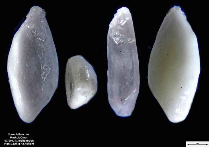 Bild 11 Foraminiferen aus dem Oman, Strand von Muskat. Gattung: unbestimmt
