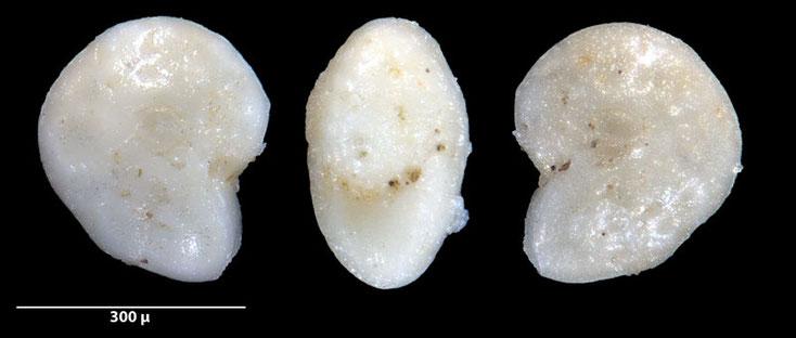Bild 4 Foraminifere ausgelesen aus Sand von der Gaspesie, Kanada, Quebec