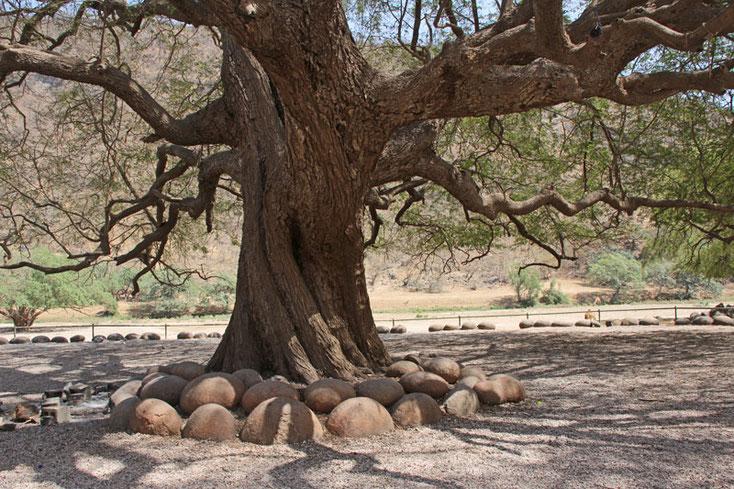 Oman Urlaub 2017; Alter Baum im Wadi Darbat umlagert von runden Steinen
