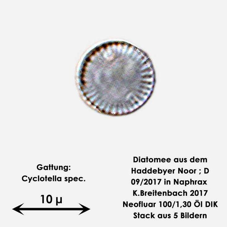 Bild 10 Diatomee aus dem Haddebyer Noor in Schleswig Holstein; Gattung: Cyclotella spec.