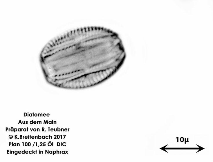 Bild 2 Diatomeen aus dem Main km 69,4 Art: vermutlich Amphora spec.