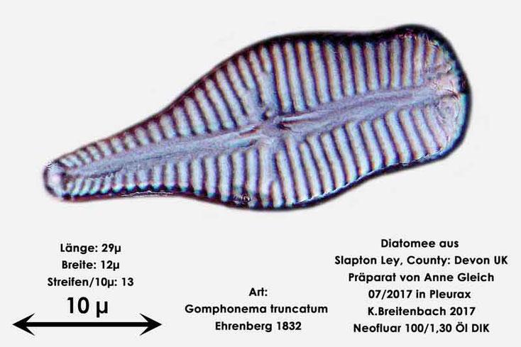 Bild 31 Diatomeen aus Slapton Ley, Devon UK; Art: Gomphonema truncatum Ehrenberg 1832