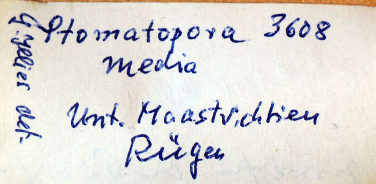 Senckenberg, Bryozoa, Bryozoen, Moostierchen, Sammlung Voigt
