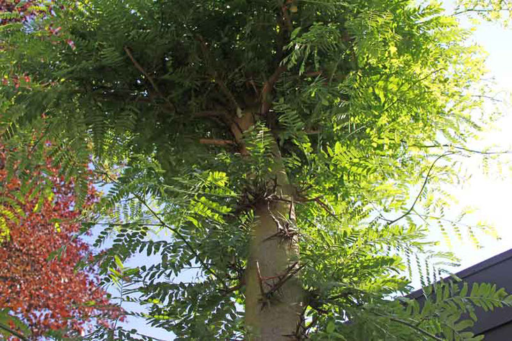 Bild 2 Amerikanische Gleditschie  (Gleditsia triacanthos) im Garten