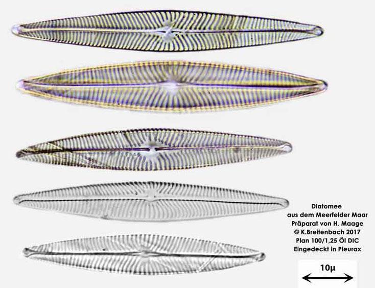 Bild 21 Diatomee aus dem Meerfelder Maar in der Eifel, Art: vermutlich Navicula spec.