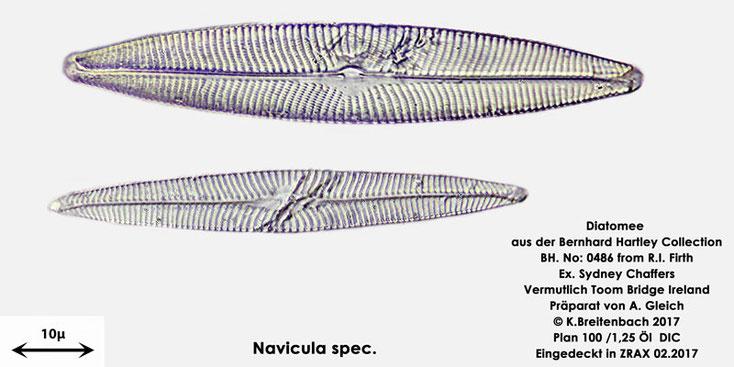 Bild 12 Diatomee aus Toomebridge Irland, Süßwasser Art: vermutlich Navicula spec.