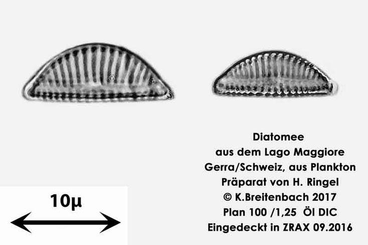 Bild 10 Diatomee aus dem Lago Maggiore/Gerra Schweiz, Art vermutlich Encyonema minutum
