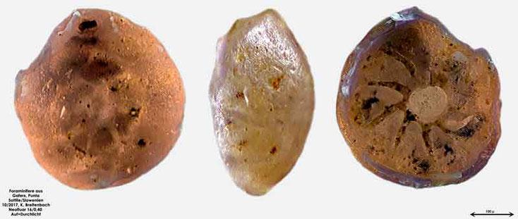 Bild 2 Foraminiferen aus Sand von Punta Sottile Gattung: Cibicedes sp
