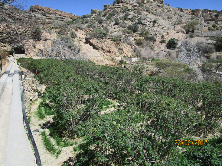 Oman Urlaub 2017; Blick auf den Bewässerungskanal und die Rosenfelder