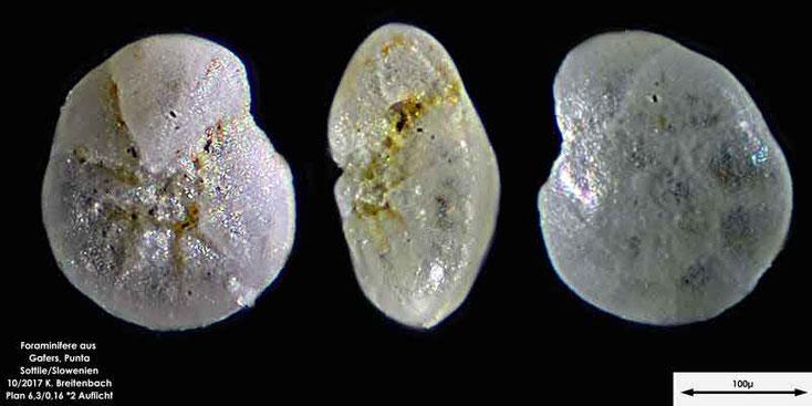 Bild 13 Foraminiferen aus Sand von Punta Sottile. Gattung: konnte nicht bestimmt werden