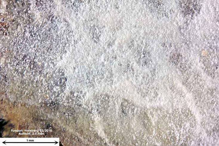 Bild 1 Phlebiopsis gigantea; Oberfläche im leicht feuchten Zustand.