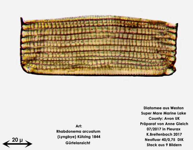 Bild 39 Diatomeen aus Weston Super Mare, UK; Art: Rhabdonema arcuatum (Lyngbye) Kützing 1844 Gürtelansicht