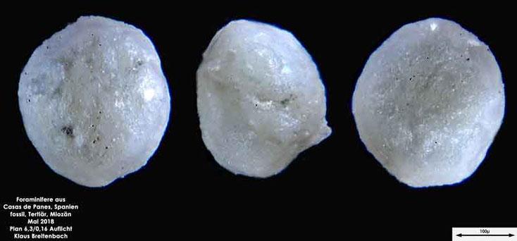 Foraminifere aus Casas de Pranes, Spanien. Gattung und Art konnte nicht bestimmt werden