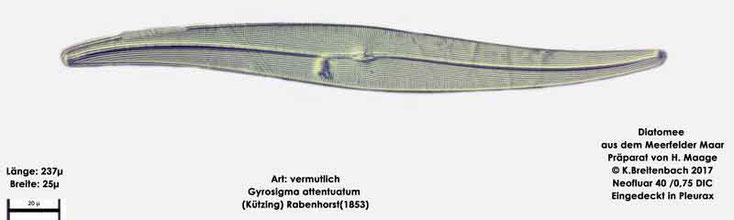 Bild 18 Diatomee aus dem Meerfelder Maar in der Eifel, Art: vermutlich Gyrosigma attentuatum (Kützing) Rabenhorst (1853)