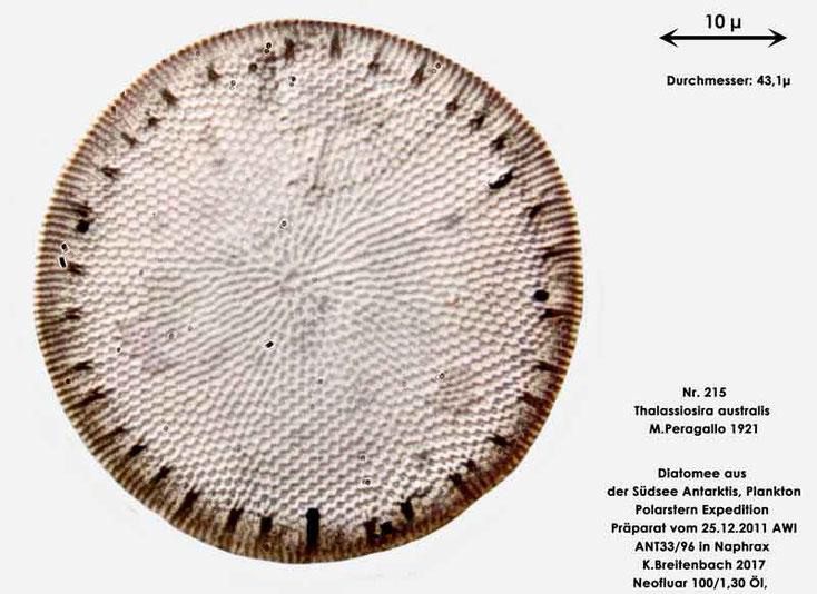 Bild 29 Diatomee aus dem anarktischen Ozean Präparat: ANT33/96; Art: Thalassiosira australis M.Peragallo 1921