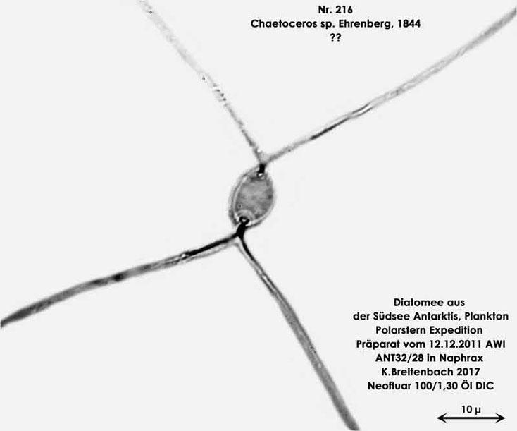 Bild 27 Diatomee aus dem anarktischen Ozean Präparat: ANT32/28; Gattung: Chaetoceros-sp-Ehrenberg-1844