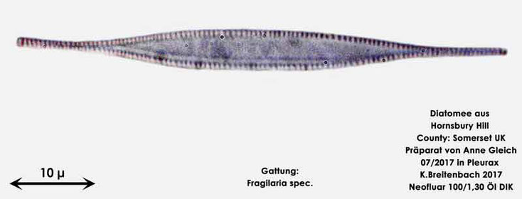 Bild 12 Diatomee aus Hornsbury Hill, County Somerset UK, Gattung: Fragilaria spec.