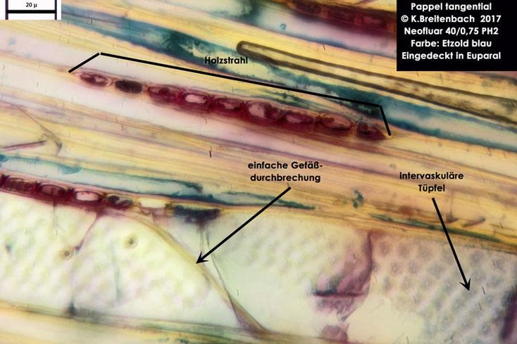 Pappel tangential mit Gefäßen und Holzstrahl