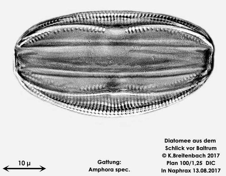 Bild 5 Diatomee aus dem Watt vor Baltrum; Gattung: Amphora spec.
