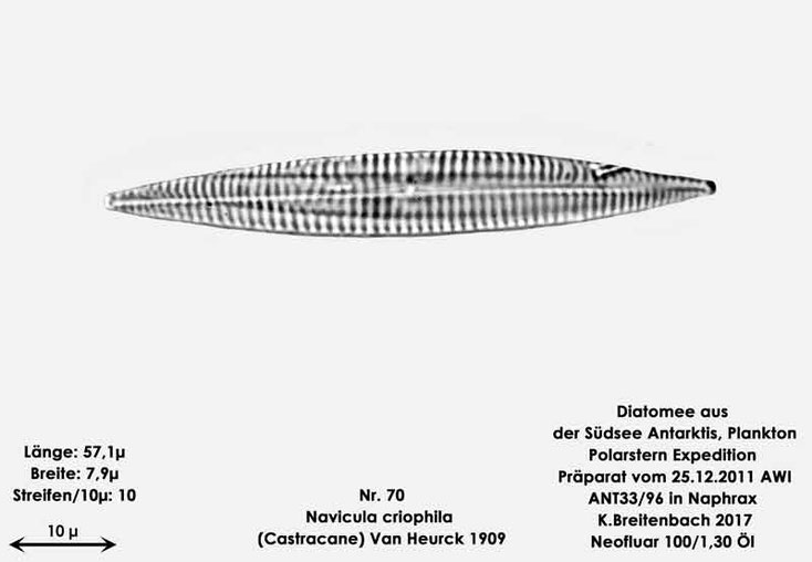 Bild 31 Diatomee aus dem anarktischen Ozean Präparat: ANT33/96; Art: Navicula criophila (Castracane) Van Heurck 1909
