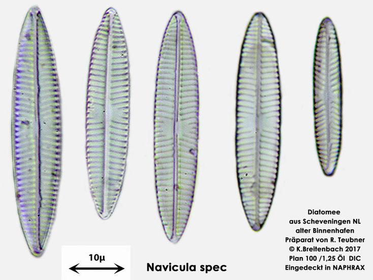 Bild 7 Diatomeen aus Scheveningen NL, Art vermutlich Navicula spec.