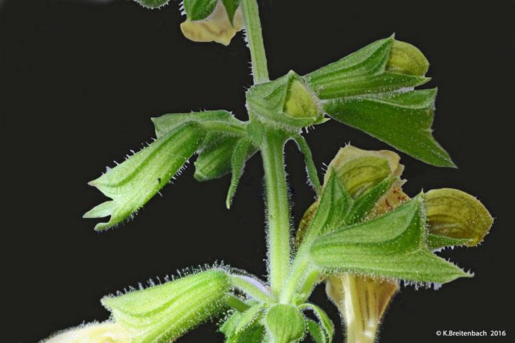"""Bild 3 Spross mit Blüten des """"Klebrigen Salbei"""" (Salvia glutinosa)"""