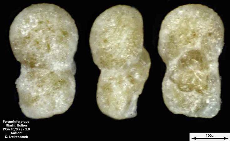 Foraminifere aus Strandsand aus Rimini; Gattung: Praeorbulina sp.