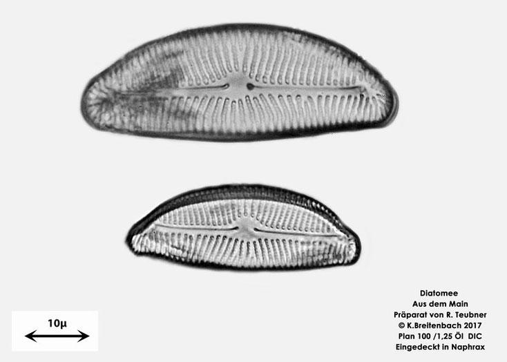 Bild 5a Diatomeen aus dem Main km 69,4 Art: vermutlich Cymbella spec.