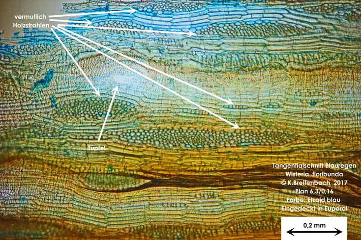 Bild 9 Japanischer Blauregen (Wisteria floribunda) Tangentialschnitt