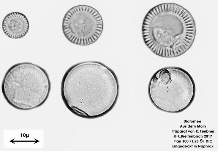 Bild 14 Diatomee  aus dem Main km 69,4 vermutlich Cyclotella spec.