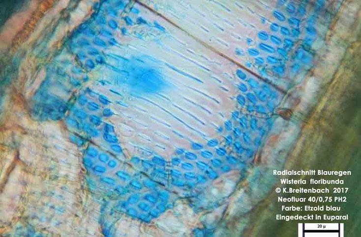 Bild 8 Japanischer Blauregen (Wisteria floribunda) Radialschnitt