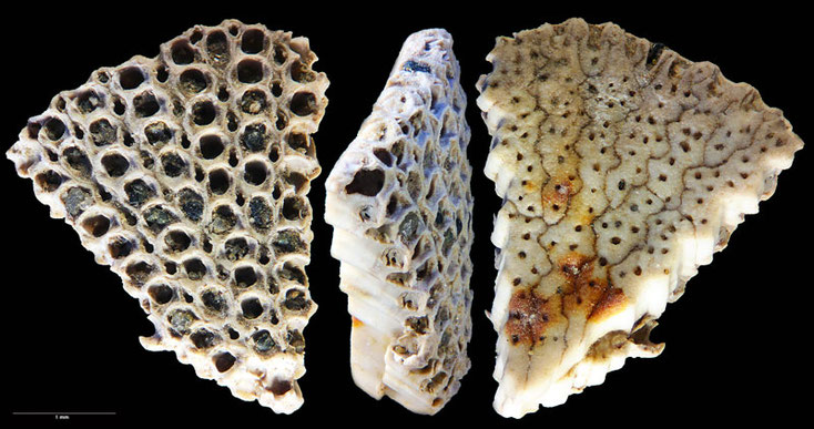 Bild 4: Bryozoa Lunulites sp, Sammlung Voigt, Senckenberg, Front, Side and Bottomview