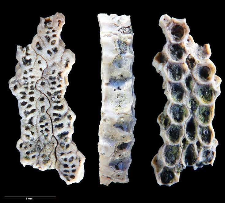 Bild 3 Bryozoa Lunulites sp, Sammlung Voigt, Senckenberg, Bottom, Side and Frontview