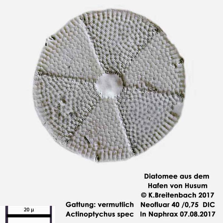 Bild 2 Diatomee aus dem Hafen von Husum Art: Actinoptychus senarius (Ehrenberg) Ehrenberg