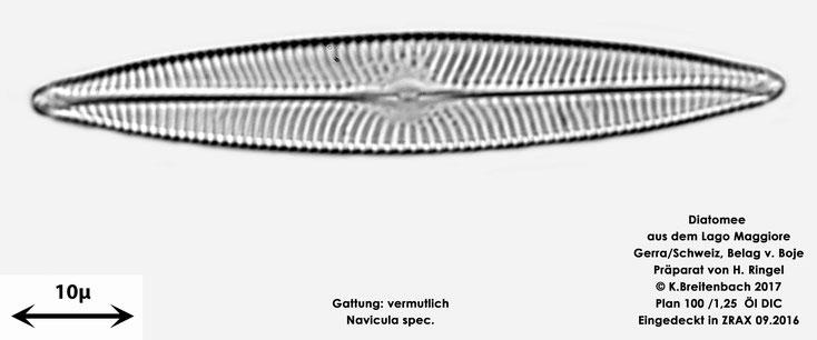 Bild 53 Diatomee aus dem Lago Maggiore/Gerra Schweiz, Gattung vermutlich Navicula spec.